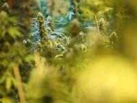 Master grower, Jon Bent, and some of his marijuana plants, Wednesday, July 12, 2017. (Trevor Hagan for Bloomberg)