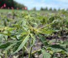 Pivot Pharmaceuticals Inc (OTCMKTS:PVOTF) Terminates Letter Of Intent For The Purchase Of Agro-Biotech