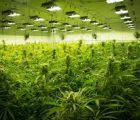 Pivot Pharmaceuticals Inc (OTCMKTS:PVOTF) Enters Nevada Cannabis Market With Strategic Partner