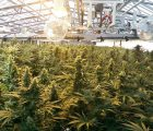 Golden Leaf Holdings Ltd (OTCMKTS:GLDFF) Positioning Itself To Take Over The Cannabis Industry