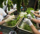 WeedMD Inc (OTCMKTS:WDDMF) Partners With Phivida On Cannabis Beverages Inc