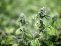 Cannabis 101: A guide to CBD oil, what it is, how it works, who can use it