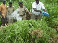 Israeli investors to grow marijuana in Uganda