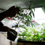In Canada, you can study marijuana production for college credit