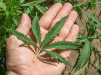 Marijuana Company Of America Inc (OTCMKTS:MCOA) Gears Up for Capacity Expansion in 2019