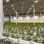 Aurora's CA$150 million cannabis greenhouse fully licensed for cultivation, sales