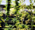 1933 Industries (OTCMKTS:TGIFF) Moves A Step Closer To Dominating The Us Cannabis Market Via Expansion Of Cultivation Facilities