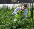 Future Farm Technologies Inc (OTCMKTS:FFRMF) Kicks Off The Next Production Stage Of CBD-Rich Hemp