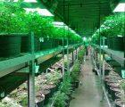 AgraFlora Organics International Inc.'s (OTMKTS:PUFXF) Using Proprietary Manufacturing Processes For CBD-Infused Formulations In Toronto Facility
