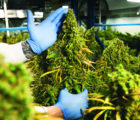 Integrated Cannabis (OTCMKTS:ICNAF) Reveals Move By Ganja Gold To Unveil A New Product