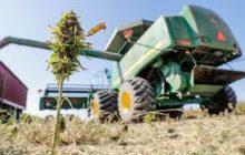 Inside the 'wild wild west' of Indiana's first major hemp harvest