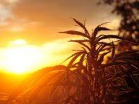 University Of Florida's Secret Hemp Fields Grow Marijuana