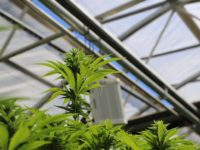 Natural Cannabis Odor Control: Q&A with OMI Industries' Dr. Laura Haupert