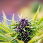 Cannabis Flavonoid Derivative May Offer Hope for Pancreatic Cancer Patients