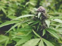 DEA Takes Steps to Approve Cannabis Cultivation Applications, States Issue New Rules for Industry Amid COVID-19 Concerns: Week in Review