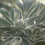 Coronavirus Outbreak Prompts Uptick in Cannabis Sales, Including Emergent Delivery Services