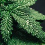Auto Cinderella Jack® Dutch Passion - Time Lapse of growing cannabis plant