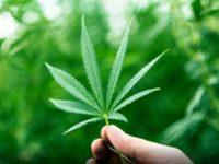 Marijuana Business News European Edition – This Weed in Cannabis