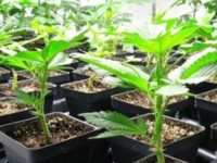 The Easiest Way to Make Cannabis Clones – No effort needed!