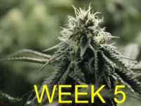 Week 5 in a Flowering Medical Cannabis Garden