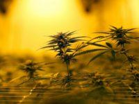 Louisiana widening access to medical marijuana under new law