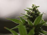 Episode 12 Teaser: Cannabis