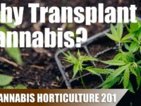 How Pot Size and Transplanting Affects a Cannabis Plant