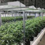 Episode 3 of Industrial Greenhouse Cannabis Growing