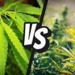 Differences Between Hemp & Cannabis