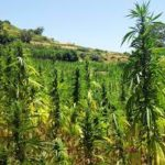 Should the EU help legalize cannabis farms in Morocco?