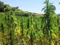 Should the EU help legalize cannabis farms in Morocco?