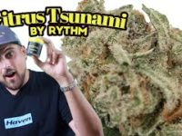"Kush Mountains ""Mini Buds"" by Rythm (Cannabis review)"